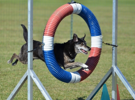 space weather tire: Mixed-Breed Dog Jumping Through a Tire at Dog Agility Trial