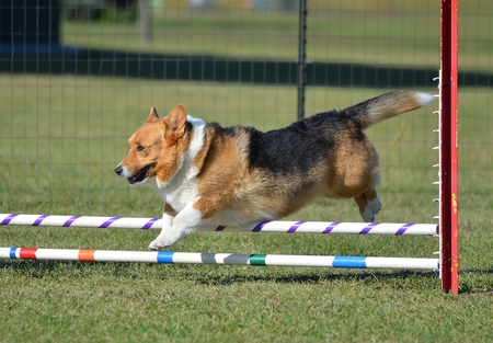 runs: Pembroke Welch Corgi Leaping Over a Jump at a Dog Agility Trial