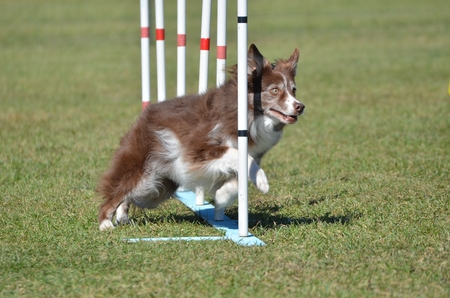 scottish collie: Border Collie Weaving Through Poles at a Dog Agility Trial