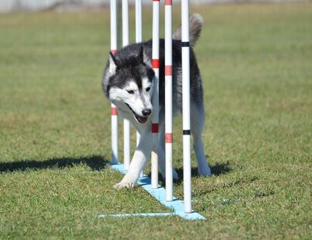 agility: Siberian Husky Weaving Through Poles at a Dog Agility Trial