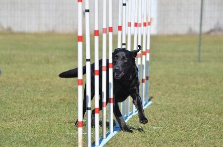 agility dog: Black Labrador Retriever Doing Weave Poles at Dog Agility Trial