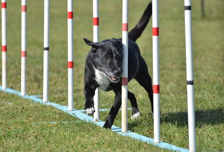 agility: Black Mixed-Breed Dog Doing Weave Poles at Dog Agility Trial