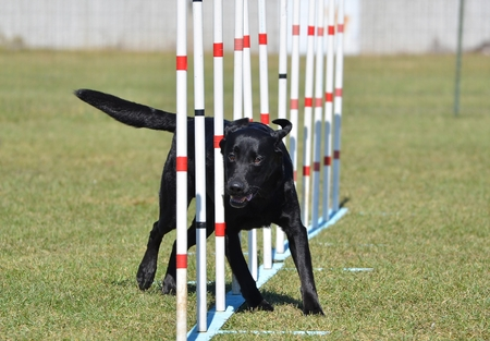 black labrador: Black Labrador Retriever Doing Weave Poles at Dog Agility Trial