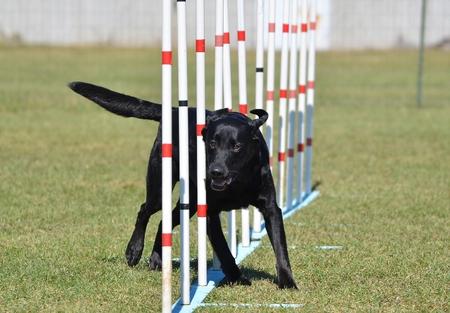 black labrador: Black Labrador Retriever Doing Weave Poles at Dog Agility Trial