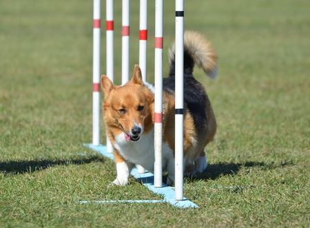 Pembroke Welsh Corgi Weaving Through Poles at Dog Agility Trial
