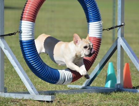 space weather tire: Tan French Bulldog Leaping Through a Tire at Dog Agility Trial