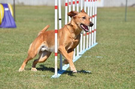 agility: Yellow Labrador Retriever Doing Weave Poles at Dog Agility Trial Stock Photo