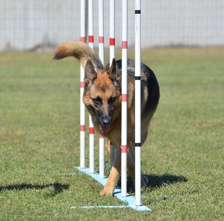 agility: German Shepherd Weaving Through Poles at a Dog Agility Trial Stock Photo
