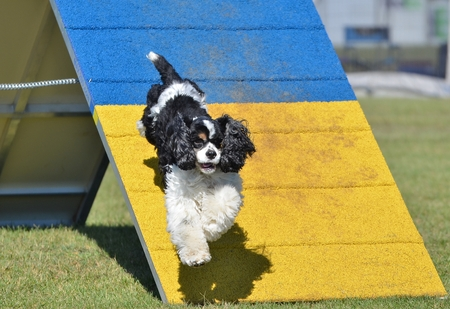 american cocker spaniel: American Cocker Spaniel Jumping off an A-frame at Dog Agility Trial Stock Photo