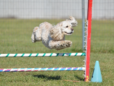 runs: American Cocker Spaniel Leaping Over a Jump at a Dog Agility Trial