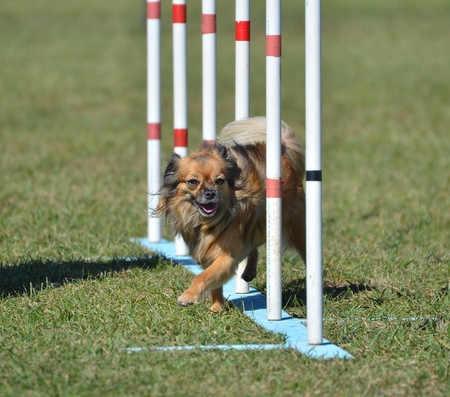 long haired chihuahua: Long Coat Chihuahua Doing Weave Poles at Dog Agility Trial