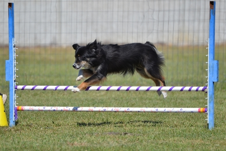 herding dog: Miniature American (formerly Australian) Shepherd Leaping Over a Jump at Dog Agility Trial