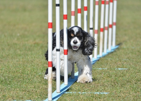 american cocker spaniel: American Cocker Spaniel Doing Weave Poles at Dog Agility Trial Stock Photo