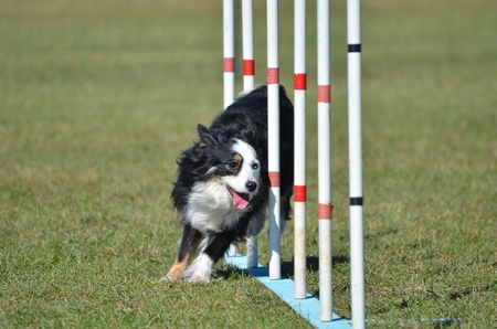 canine: Miniature American (formerly Australian) Shepherd Doing Weave Poles at Dog Agility Trial