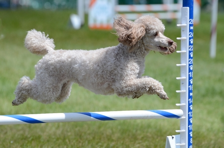miniature poodle: Miniature Poodle Leaping Over a Jump at a Dog Agility Trial