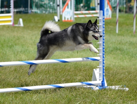 Alaskan Klee Kai Leaping Over a Jump at a Dog Agility Trial