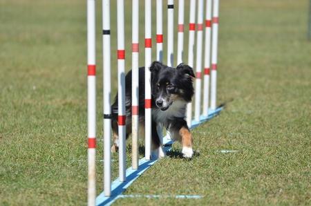 miniature breed: Americano (anteriormente australiano) Pastor en miniatura efectuar postes de la armadura en el ensayo de la agilidad del perro Foto de archivo