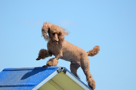 dog agility: Miniature Poodle Climbing Over an A-Frame at Dog Agility Trial