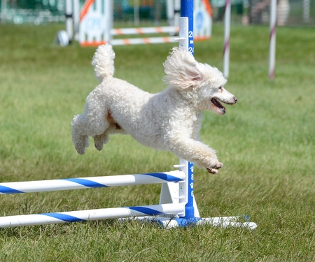 miniature poodle: Miniature Poodle Running Leaping Over a Jump at an Agility Trial