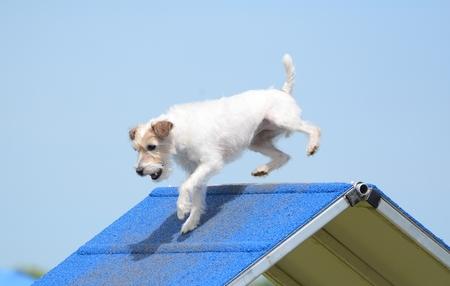 dog agility: Jack Russell Terrier Climbing an A-frame at Dog Agility Trial
