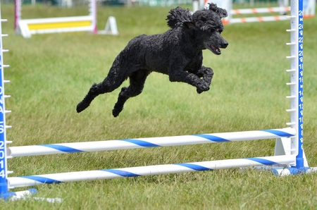 miniature breed: Black Miniature Poodle Running Leaping Over a Jump at an Agility Trial