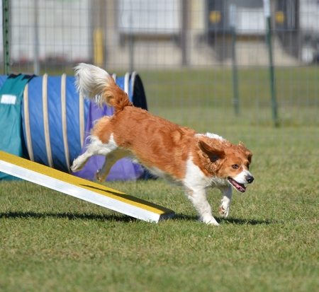 totter: Mixed-Breed Dog Jumping off a Teeter-Totter at a Agility Trial