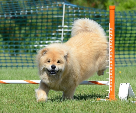 purebreed: Chow Chow Leaping Over a Jump at an Agility Trial