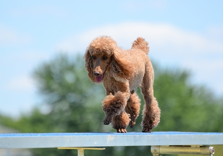 miniature poodle: Miniature Poodle Running on a Dog Walk at an Agility Trial Stock Photo