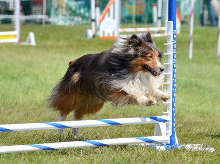 Tricolor Shetland Sheepdog (Sheltie) Leaping Over a Jump at Dog Agility Trial Stock fotó