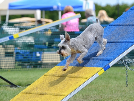 dog agility: Miniature Schnauzer Jumping Off an A-Frame at Dog Agility Trial Stock Photo