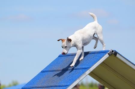 jack russell terrier: Jack Russell Terrier Climbing an A-frame at Dog Agility Trial