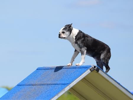 boston bull terrier: Boston Terrier Climbing an A-frame at Dog Agility Trial