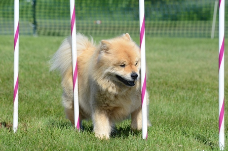 chow: Chow Chow Weaving Through Poles at a Dog Agility Trial