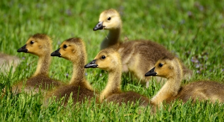 canadensis: Five Canada Goose (Branta canadensis) Goslings on Grass