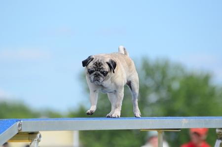 carlin: Pug Running on a Dog Walk at an Agility Trial