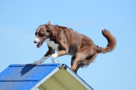 dog agility: Border Collie Going Over an A-Frame at a Dog Agility Trial