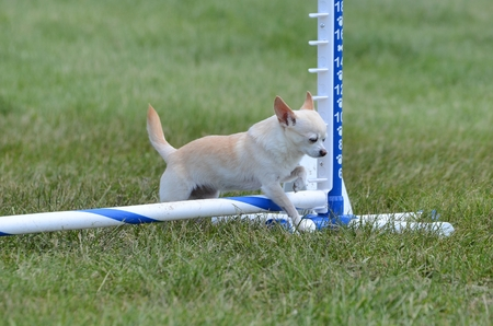 shorthaired: Short-Haired Chihuahua Leaping Over a Jump at a Dog Agility Trial
