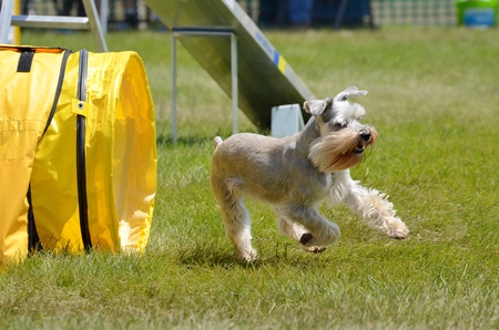 Miniature Schnauzer Leaving Tunnel at a Dog Agility Trial Stock fotó