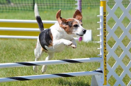 tricolour: Tricolor Beagle Leaping Over a Jump at Dog Agility Trial