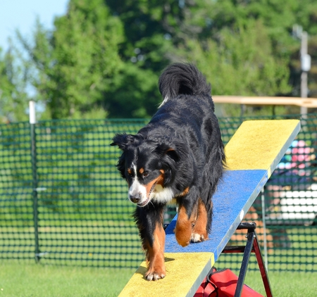 totter: Bernese Mountain Dog on a Teeter-Totter at Dog Agility Trial