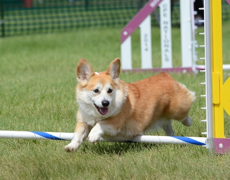 dog agility: Pembroke Welch Corgi Leaping Over a Jump at a Dog Agility Trial
