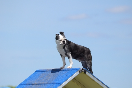 boston bull terrier: Boston Terrier Standing on an A-frame at Dog Agility Trial Stock Photo