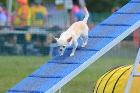 shorthaired: Short-Haired  Chihuahua Walking on a Dog Walk ar an Agility Trial Stock Photo