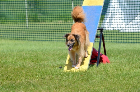 pyrenean: Pyrenean Shepherd on a Teeter-Totter at Dog Agility Trial