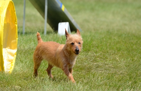 An Australian Terrier Leaving a Tunnel at a Dog Agility Trial