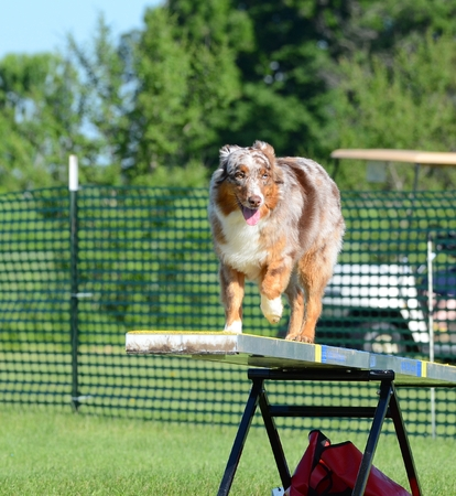 totter: Red Merle Australian Shepherd (Aussie) on a Teeter-Totter at Dog Agility Trial
