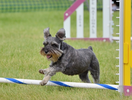 agility: Miniature Schnauzer Leaping Over a Jump at Dog Agility Trial