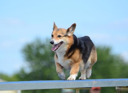 tricolour: Pembroke Welsh Corgi Running on a Dog Walk at an Agility Trial