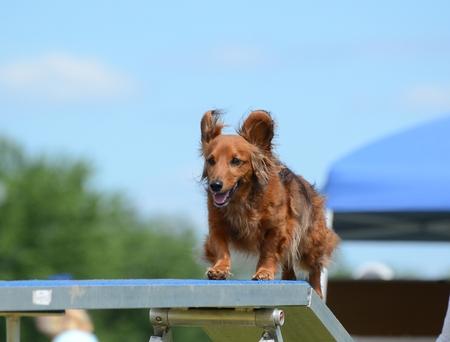 Dachshund Running on a Dog Walk at an Agility Trial