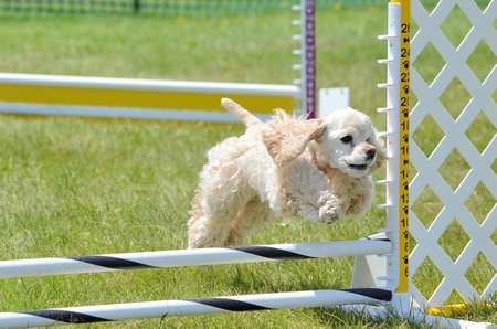 american cocker spaniel: American Cocker Spaniel Leaping Over a Jump at a Dog Agility Trial